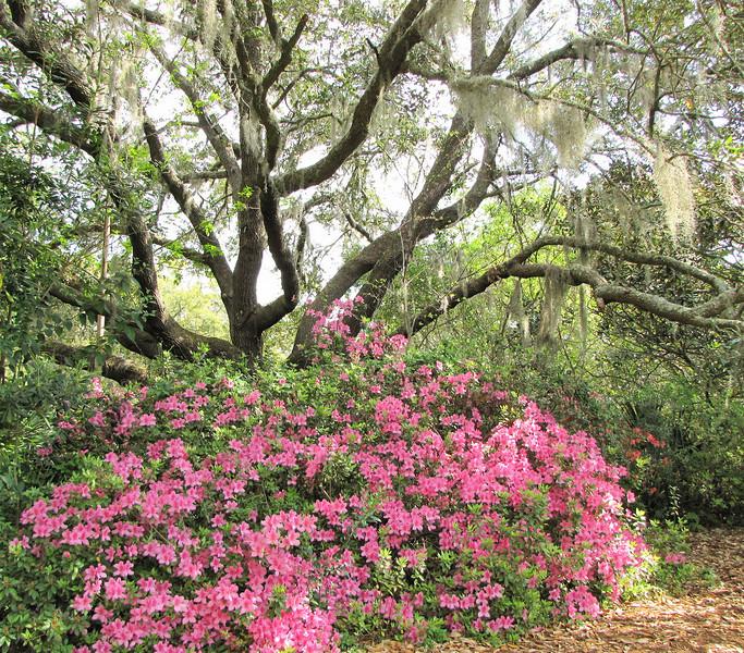 Live Oaks and Azaleas - Brookgreen Gardens, Murrells Inlet, SC  3-25-11