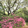 Live Oaks and Azaleas - Brookgreen Gardens, Murrells Inlet, SC  3-25-11