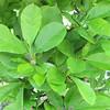 Closeup Star Magnolia - Magnolia stellata - Brookgreen Gardens, Murrells Inlet, SC  3-25-11