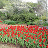 Tulips and Dogwood - Brookgreen Gardens, Murrells Inlet, SC  3-25-11