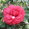 Camellia - Brookgreen Gardens, Murrells Inlet, SC  3-25-11<br /> One little white spot reminds us that nothing in nature is perfect ... not even in our own nature in us.  Only through Jesus can we become more and more like He is.