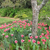 Tulips and More - Brookgreen Gardens, Murrells Inlet, SC  3-25-11