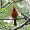 Male Northern Cardinal Gathering Nest Material - Brookgreen Gardens, Murrells Inlet, SC  3-25-11