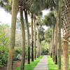 Palm Allee - Brookgreen Gardens, Murrells Inlet, SC  3-25-11