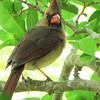 Female Northern Cardinal Surprised I Found Her Hiding Spot - Brookgreen Gardens, Murrells Inlet, SC  3-25-11