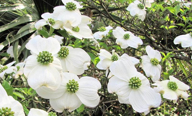 Dogwood Blossoms - Brookgreen Gardens, Murrells Inlet, SC  3-25-11