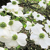 Dogwood Blossoms - Brookgreen Gardens, Murrells Inlet, SC  3-25-11