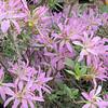 Azalea - Rhododendron 'Kiromo Shi Kibu' - Brookgreen Gardens, Murrells Inlet, SC  3-25-11