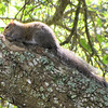 Squirrel Resting After Morning of Gathering - Brookgreen Gardens, Murrells Inlet, SC  3-25-11