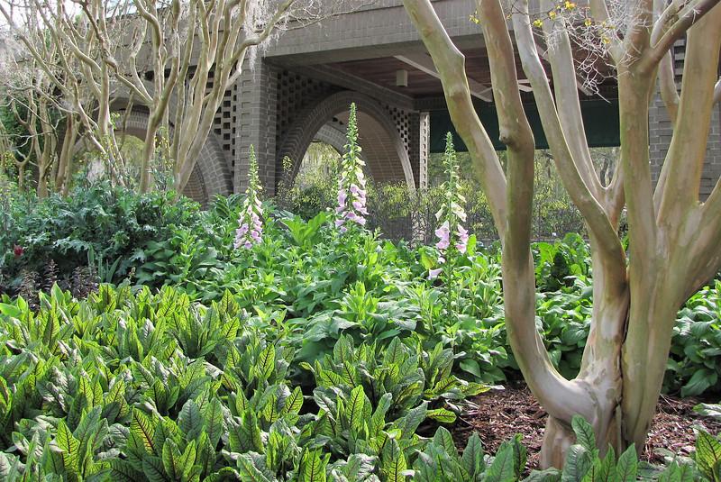 Foxgloves Blooming in March - Brookgreen Gardens, Murrells Inlet, SC  3-25-11