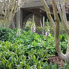 Foxgloves Blooming in March - Brookgreen Gardens, Murrells Inlet, SC  3-25-11
