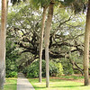 Live Oak Expressing The Father's Glory - Brookgreen Gardens, Murrells Inlet, SC  3-25-11