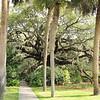 Live Oak Expressing The Father's Glory - Brookgreen Gardens, Murrells Inlet, SC  3-25-11