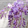 Wisteria Blooms - Brookgreen Gardens, Murrells Inlet, SC  3-25-11