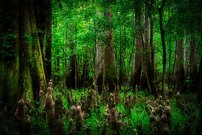 The Swampland of Congaree National Park