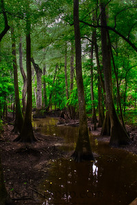Trees reflecting in Congaree National Park
