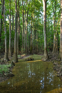 Cypress Trees reflecting in Water in Congaree National Park