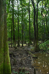Cypress Tress in Congaree National Park