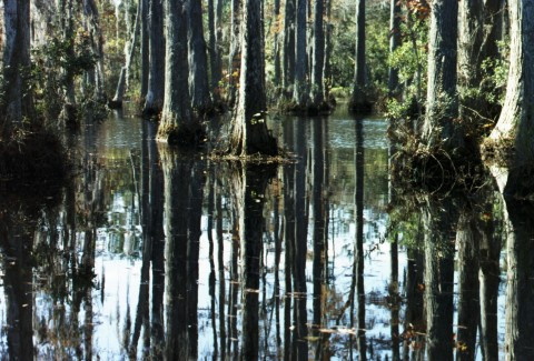 Cypress Swamp - Reflections from Boat - Cypress Gardens, Moncks Corner, SC