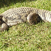 Alligator Happy to Be Rescued - Cypress Gardens, Moncks Corner, SC
