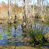 Autumn Splendor in the Swamp - Cypress Gardens, Moncks Corner, SC