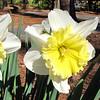 Triple Daffodils - Glencairn Garden, Rock Hill, SC