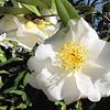 White Camellia - Glencairn Garden, Rock Hill, SC