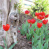 Tulip and Pretty Tree Trunk - Downtown Along the Reedy River, Greenville, SC