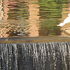 White Duck at Waterfall - Downtown Along the Reedy River, Greenville, SC