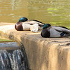 Mallard Ducks - Downtown Along the Reedy River, Greenville, SC