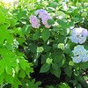 Pink and Blue Hydrangea on Same Bush - Hatcher Garden and Woodland Preserve - Spartanburg, SC