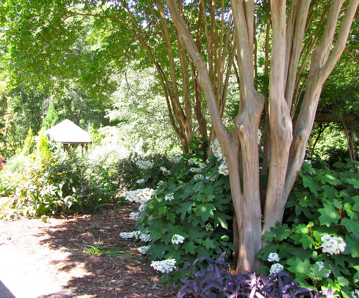 Beauty of Crape Myrtle Trunks with Oak Leaf Hydrangea - Hatcher Garden and Woodland Preserve - Spartanburg, SC<br /> Over the next 30 years (from 1969 when they moved here), they acquired property totaling 10 acres.  Much of the land was in ruin: erosion from the former cotton fields had robbed the soil of its nutrients.  Trash and weeds covered the ground.