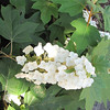 Closeup of Oak Leaf Hydrangea Blossom - Hatcher Garden and Woodland Preserve - Spartanburg, SC