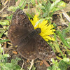 Horace's Duskywing Butterfly (Erynnis horatius) - Huntington Beach State Park, Murrells Inlet, SC  3-26-11