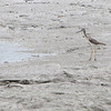 Greater Yellowlegs - Boardwalk Wildlife Viewing Area - Huntington Beach State Park, Murrells Inlet, SC  3-26-11<br /> A common, tall, long-legged shorebird of freshwater ponds and tidal marshes, the Greater Yellowlegs frequently announces its presence by its piercing alarm calls.