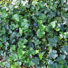 Ivy and Violets - Kilgore-Lewis House Gardens - Circa 1838 - Greenville, SC