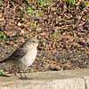 Eastern Mockingbird at Kilgore-Lewis House and Gardens - Circa 1838 - Greenville, SC