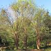 Extremely Tall Crape Myrtles - Kilgore-Lewis House Gardens - Circa 1838 - Greenville, SC