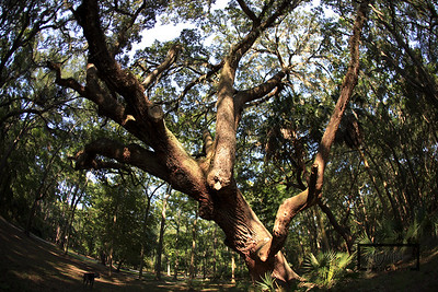 Live Oaks near cemetery in May River Plantation  © Copyright m2 Photography - Michael J. Mikkelson 2009. All Rights Reserved. Images can not be used without permission.