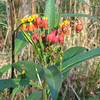 Butterfly Weed - A Type Of Milkweed