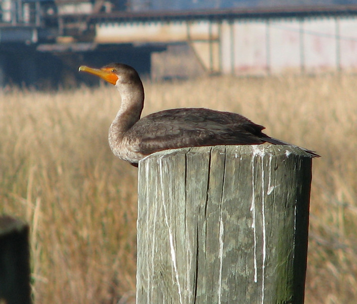 Double-crested Cormorant At Childsbury Towne Heritage Preserve
