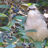 Northern Mockingbird With Berries