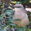 Northern Mockingbird Eating Berries