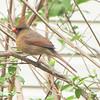 Female Cardinal - Myrtle Beach State Park, SC  3-26-11