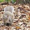 Gray Squirrel - Myrtle Beach State Park, SC  3-26-11