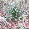 Saw Palmetto Plant - Myrtle Beach State Park, SC  3-26-11