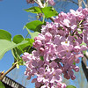 Lilac - Aunt Sue's Country Corner, Pickens, SC