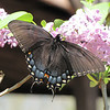 Eastern Tiger Swallowtail on Lilac - Intermediate Female - Aunt Sue's Country Corner, Pickens, SC