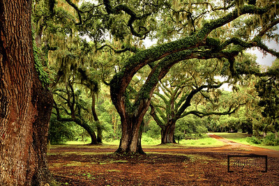 Live Oaks with Spanish Moss leading away from the Tabby Ruins on Spring Island, South Carolina  © Copyright m2 Photography - Michael J. Mikkelson 2009. All Rights Reserved. Images can not be used without permission.