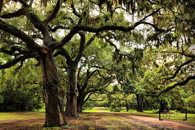 Row of Live Oaks with Spanish Moss leading away from the Tabby Ruins on Spring Island.  © Copyright m2 Photography - Michael J. Mikkelson 2009. All Rights Reserved. Images can not be used without permission.